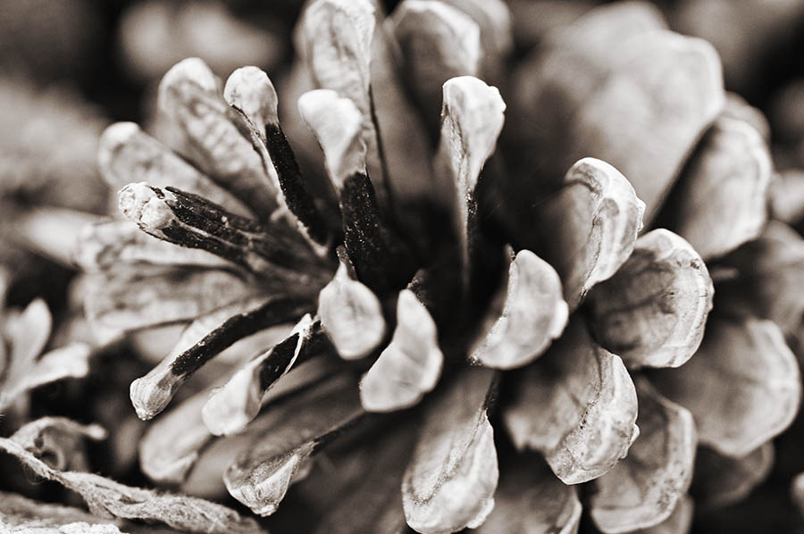 """Pinecone in Sepia"" by Caryn Caldwell"