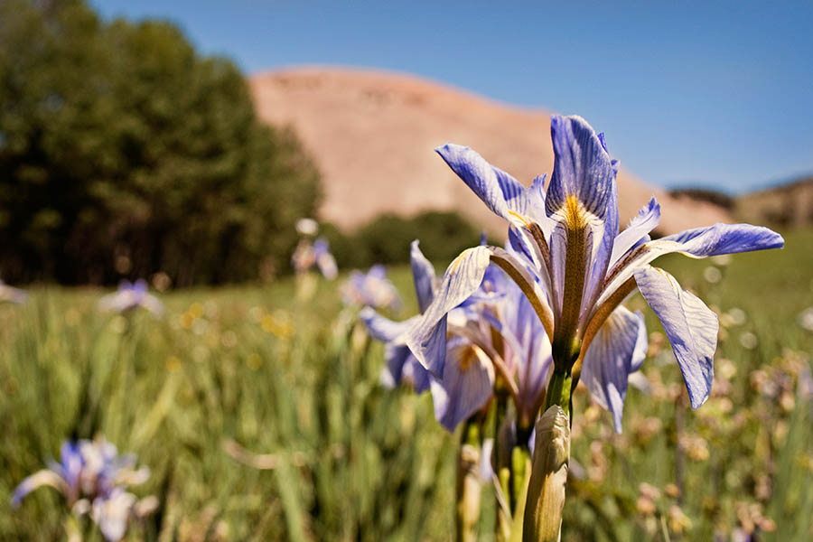 """Mountain Iris"" by Caryn Caldwell"